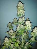 Sweet Seeds Cream Caramel Auto - photo made by 00BudSpencer00