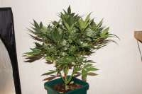 Picture from kerbiili (Sweet Skunk Auto)