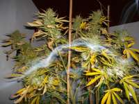 Pic for Blue Dream (The Bulldog Seeds)