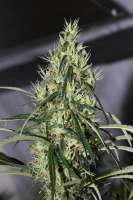 Tropical Seeds Company King Congo V4 - photo made by flashgordon