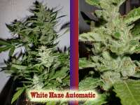 Picture from hankpankwank (White Haze Automatic)